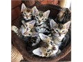 Cute and lovely BENGAl kittens ready to go out to caring homes TICA reg and are up to date with all