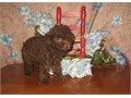 Purebred Tiny Toy Poodle Male PupsCKC REG8  16 Weeks OldChocolate Pup900Other Colors