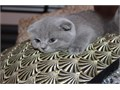 peaceful Scottish Fold Kittens Both available now contact by text only for more info and pics321