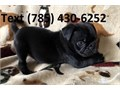 ADDIE Pug Puppies For Sale Text 785 430-6252 for recent pic and more details