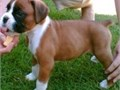 Attractive Boxer Puppies Contact us for more details and pictures at 202 858-7150   Serious inqu