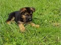 German shepherd puppies ready Our puppies are very sweet and charmingcontact at 561-377-0085