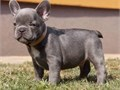 HNT French Bulldog Puppies for sale For more info and pics text us at804 592 x 0091we will be
