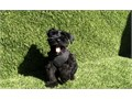 Male Mini Schnauzer Puppy 2 months tail docked veterinarian checked current on vaccinations certific