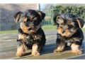 Nice Tea Cup Yorkie Puppies for good and caring homes onlythey are well train and shall be coming w