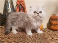 Adorable Persian kittens looking for that special person to go home with They are exotic doll-face