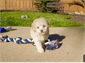 TINY MALTIPOOS PUPPIES FOR SALE MALE  MALTIPOOS PUPPIES FOR SALE  9 WEEKS OLD SHOTS AND DEWORMED
