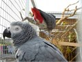Text for more information401 305-0156African grey parrot  hand tame beautiful bird DNA teste