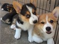 I got a male and a female corgi puppies which I have raised from   TEXT ME AT 970 279-1106