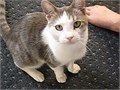 WANTED  small affectionate outgoing indoor-only adult 4-7 yrs cat outgoing  who will be given t