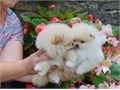 Pure Breed Pomeranian puppies vet checked and perfectly healthy little boy and girl and very playfu