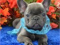 French Bulldog puppiesText us 7625855769 they are male and female current on all shots and vaccine