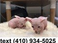 Talented Sphynx Kittens For SaleThis kittens are registered vet check dewormed and have all vaccin