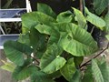 1 gallon 1 foot tall 5five gallon 20 gorgeous edible Black Taro excellent bogpond plant or plan