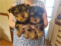 YORKIE puppies ever seenget back to us if  interested serious inquiry only please 2six7-sixze