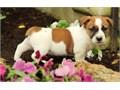 Jack russell pupsRegisteredregisterable Current vaccinations Veterinarian examination Health ce