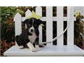 TEXT us at 843 868 1408 for more info and pics All the puppies will be fully socialized and ve
