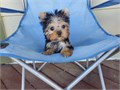 Yorkie Yorkshire Terrier Female 7145 1 9-6657 Born 66Up to date and shots and deworming R