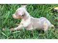 I have miniature Pinscher puppies available Texts only at 4146719-057