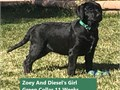 AKC Black Labradors