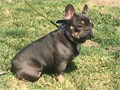 Beautiful Blue and Tan Frenchie for stud only If your female is in heat then this Stud is your boy