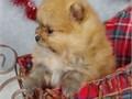 Urgent Pomeranian Adoption2 Cute Teacup Pomeranian  12 weeks male and female teacup Pomeranian ba