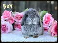 Lovable and adorable eight week old Holland lop baby bunnies Maximum weight is between 3 and 4 poun