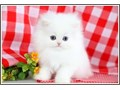 PLEASE TEXT 703 659-6348cutest white persian kittens now ready to go for sale to good homes12 w