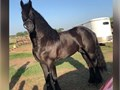 Friesian horse for sale Purebred Friesian Foalbook Gelding Professionally started under saddle gr