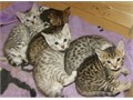 Bengal kittens    Text us at 918 x 322 x 1165 for more info of my pets    I have an amazing litt