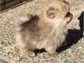 Nice Looking T-Cup Pomeranian PuppiesLast two Pomeranian pups one male and white female with blue