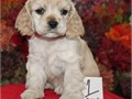 7 Cocker Spaniel Puppies For SaleThey are very friendly with other pets and children Ready to go E
