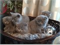 Exquisite Scottish fold Kittens Ready Kittens come with TICA registration papers are all current o