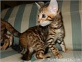 Beautiful Brown Rosetted Bengal kittens female availableFemaleBeautiful colors and rosetted mark