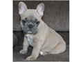 These cuties French Bulldog puppies have gourgeous babies  All have silky soft fur Will be very sm