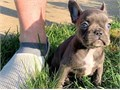 SXD French Bulldog Babies ready to go now textus-x-385 2023846--so lovely