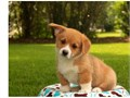 This Pembroke Welsh Corgi puppies is 12 weeks old They are vaccinated vet checked wormed and I ha