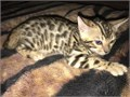 Rosette Bengals available I have brown rosette Bengals available male and female They are up to