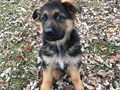 We are breeders of complete German shepherd breed with a champion blood linage for both parents and