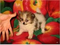 Purebred Teeny Tiny Size Pomeranian Pom Pom Teddy-bear Female Pup  CKC REGISTRATION ONLY