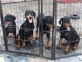 pure breed doberman pinschers european blood line tails have been docked