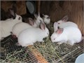 I have 8 Californian baby rabbits for sale For more details and recent pictures text via 516-595-9
