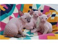 Three beautiful Don Sphynx kittens with blue eyes looking for a new home and loving family We have