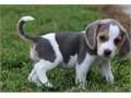 Beagle puppiesRegisteredregisterable Current vaccinations Veterinarian examination Health cert