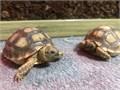 Baby Sulcatas Tortoises 60