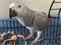 Grateful Talking African Grey Parrots Available They are very well socialised with kids adults and