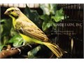 -Green Singer Yellow fronted canary- We Ship Safely Nationwide We use a patented safety travel bo