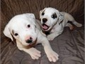 American Bulldog PuppiesYou text for more info and pics contact via 5409474049