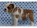British Bulldog Puppies Male and Female English Bulldog puppies So gentle and