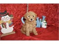 Red Maltipoo Puppies Male and Female available 10 weeks of age with second sets shots and dewormi